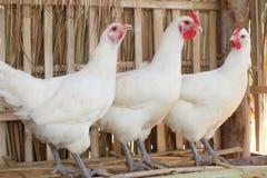 Белый цыпленок. Стоковая Фотография