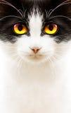 Белый черный кот стоковые фотографии rf