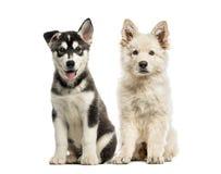 Белый швейцарский щенок чабана, сиплый щенок malamute стоковые изображения rf