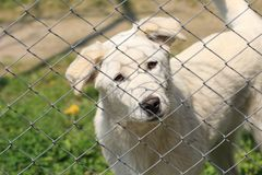 Белый щенок собаки за загородкой смотря милый на камере Стоковое Изображение