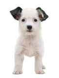 Белый щенок Стоковое Фото