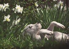 Белый щенок Dogo Argentino лежит в daffodils Стоковые Изображения RF