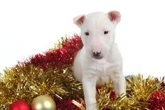 Белый щенок terrier быка с рождеством Стоковые Изображения
