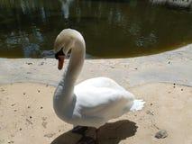Белый элегантный лебедь стоковые изображения rf