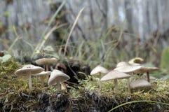 Белый ядовитый грибок среди мха на пасмурный день в лесе осени Стоковое Изображение