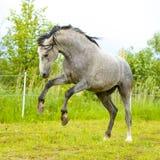 Белый Andalusian gallop бегов лошади в summe стоковое изображение