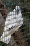 Белый ara попугая в клетке Стоковое фото RF