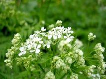 Белый blossoming Стоковое Изображение
