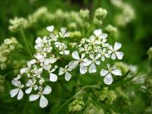 Белый blossoming Стоковая Фотография RF