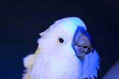 Белый cockatoo зонтика   Стоковые Изображения
