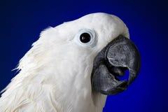 Белый cockatoo зонтика   Стоковая Фотография RF