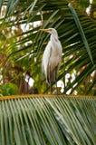 Белый egret на представлять вала кокоса Стоковое Изображение RF