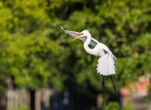 Белый Egret приходя внутри для посадки Стоковое Фото