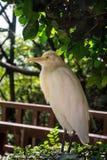 Белый egret скотин стоковое фото
