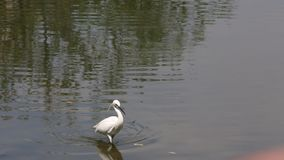 Белый Egretta Garzetta птицы, меньший egret идя и искать еду в озере сток-видео