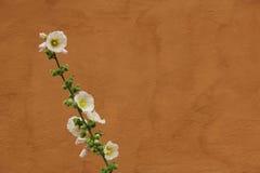 Белый Hollyhock против померанцовой стены Стоковая Фотография RF
