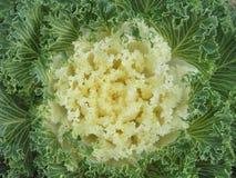 Белый Kale Стоковые Фото