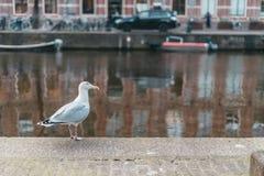 Белый larus города в центре Амстердама стоковое изображение