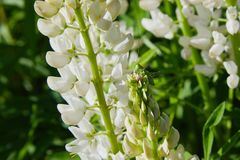 Белый lupine цветок зацветая в луге стоковые изображения rf