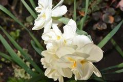 Белый Narcissus с желтой серединой стоковые изображения