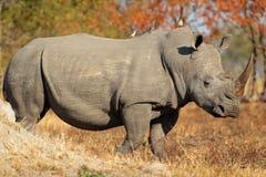 Белый rhinoceros стоковое фото rf