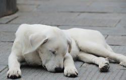 Белый sheep-dog стоковое изображение