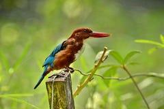 Белый Throated Kingfisher Стоковое фото RF