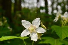 Белый wildflower в скалистых горах Стоковые Изображения