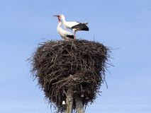 2 белых аиста в аисте аиста гнезда Стоковые Фотографии RF