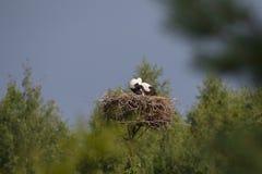 2 белых аиста в гнезде против голубого неба и дерева Стоковое Изображение