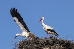 2 белых аиста на гнезде Стоковое Изображение