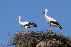 2 белых аиста на гнезде Стоковая Фотография RF