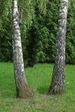 2 белых березы как сестры красиво были расположены на зеленой лужайке Вычурно стойте вне на фоне стоковое изображение