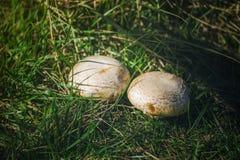 2 белых больших гриба растут в лесе Стоковое Изображение
