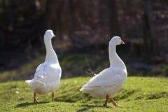 2 белых больших гусыни мирно идя совместно в зеленое травянистое Стоковые Изображения