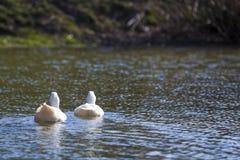 2 белых больших гусыни мирно плавая совместно плавать на Стоковая Фотография