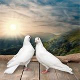 2 белых голубя на деревянной предпосылке Стоковое Изображение