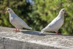 2 белых голубя при красные ноги сидя на каменной стене в парке Стоковое Изображение