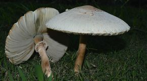 2 белых гриба в зеленой траве Стоковое фото RF
