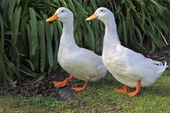 2 белых гусыни идя на зеленую траву Стоковое Изображение