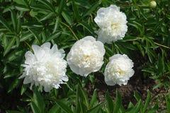 4 белых двойных пиона в июне Стоковая Фотография RF