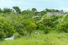 2 белых коровы положенной на траву Стоковые Фотографии RF