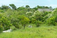 2 белых коровы положенной на траву Стоковые Изображения