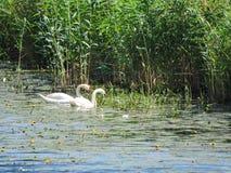 2 белых лебедя в озере, Литве Стоковые Фотографии RF