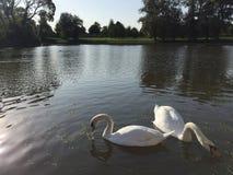 2 белых лебедя в пруде Стоковые Изображения