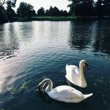 2 белых лебедя в пруде Стоковое фото RF
