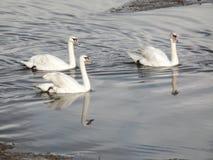 3 белых лебедя в реке Стоковые Фотографии RF