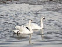 2 белых лебедя в реке Стоковое Изображение