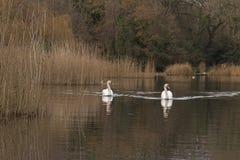 2 белых лебедя на общее орнаментальном пруде, Саутгемптоне Стоковые Фото