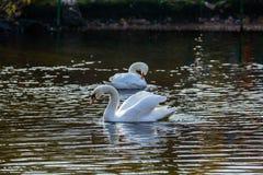 2 белых лебедя на озере или в пруде Стоковые Фото